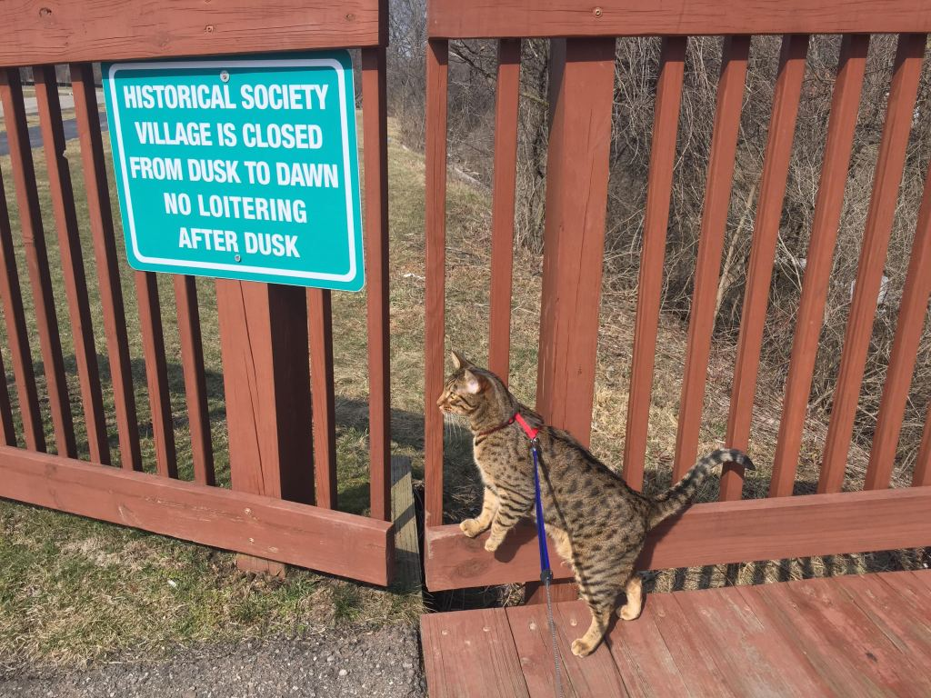 my cat Cheddar at the Chesterfield historical village