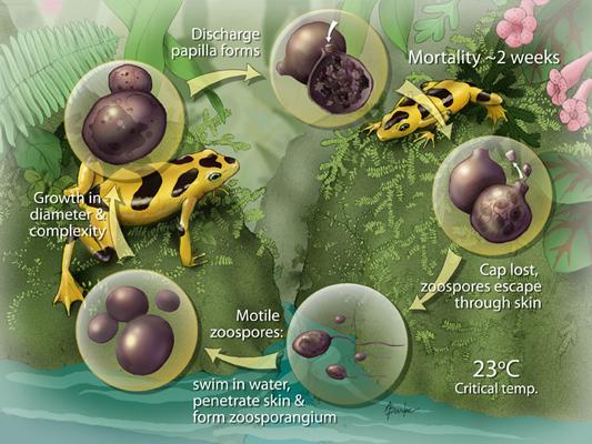 Επικίνδυνος μύκητας εντοπίστηκε σε Στροφιλιά, Βιστωνίδα