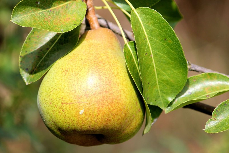 Pear before bed  Pear for sleep