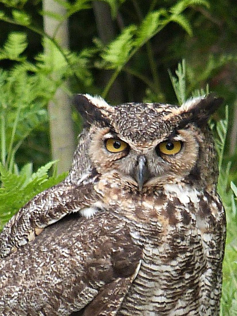 Great Horned Owl in Bruce Peninsula National Park in Ontario