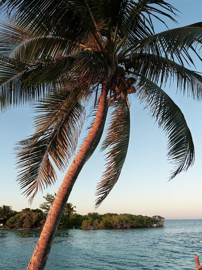 Palm tree on Caye Caulker, Belize