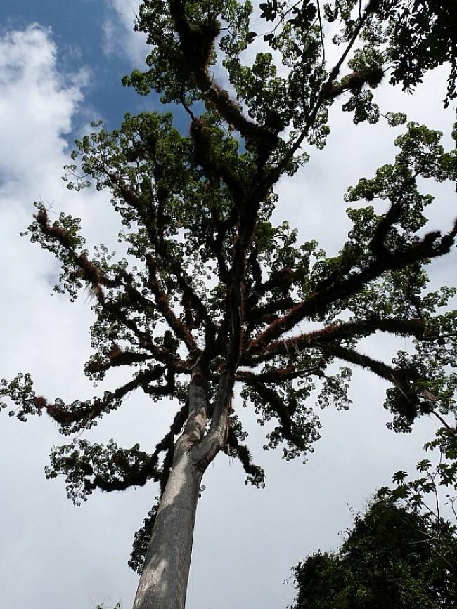 Giant Ceiba tree at Tikal, Guatemala