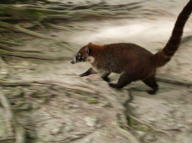 Coati on the move in Tikal, Guatemala