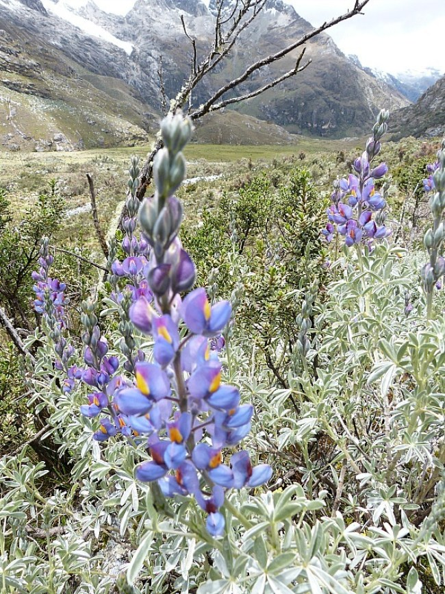 Wildflowers on the hike to Laguna 69 in the Cordillera Blanca Mountains of Central Peru