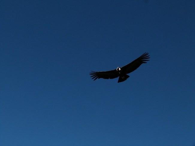 Andean Condor in the Colca Canyon, Peru