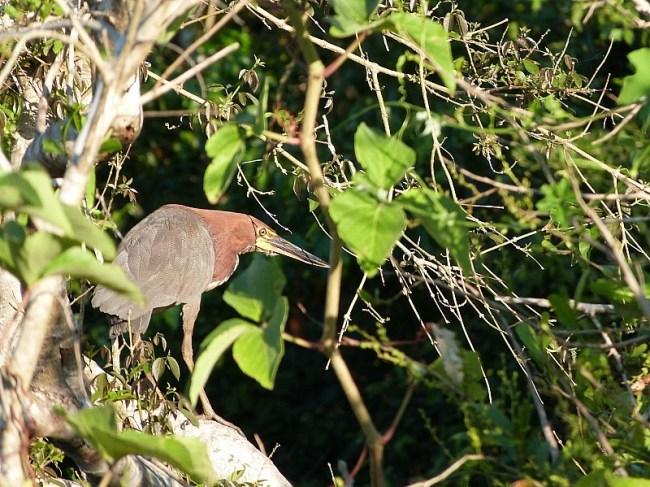 Bird in the Amazon Basin of Bolivia