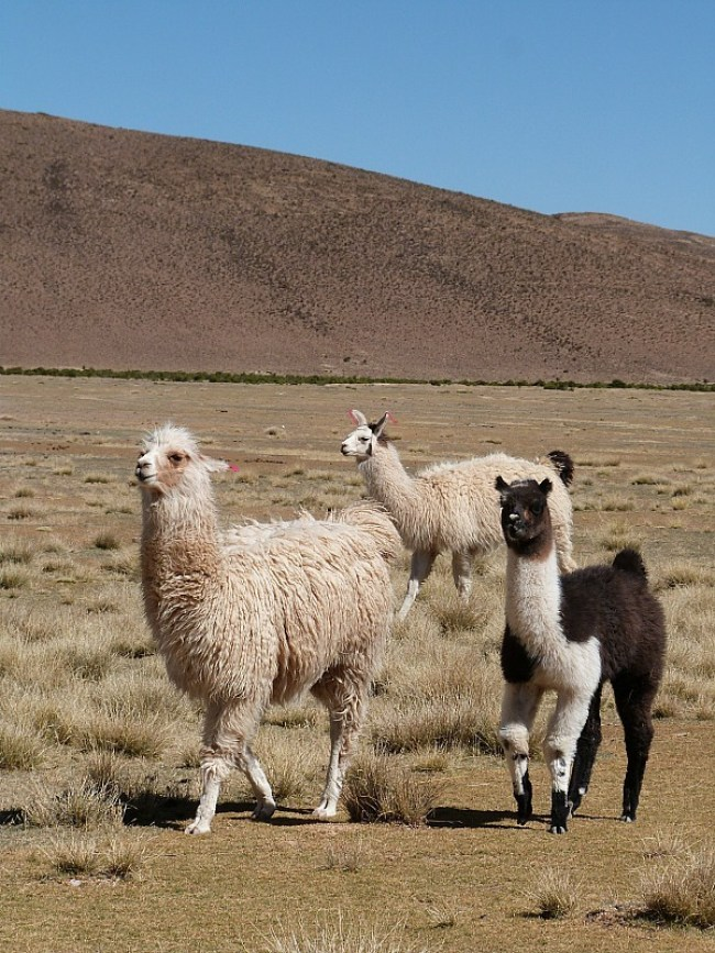 Llamas in south west Bolivia