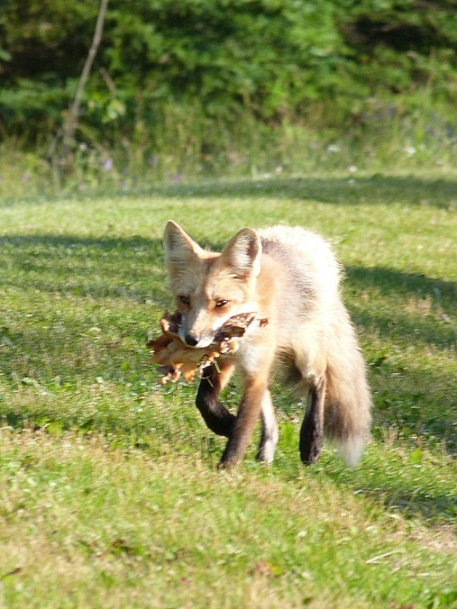 Red fox on Prince Edward Island