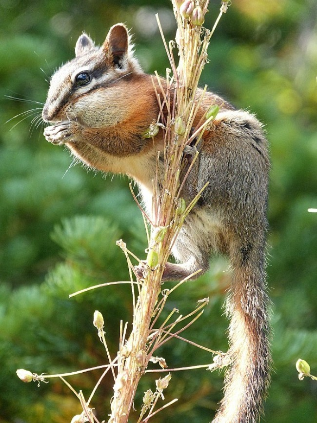 Cute chipmunk in Glacier National Park in Montana - a Rocky Mountain Road Trip must