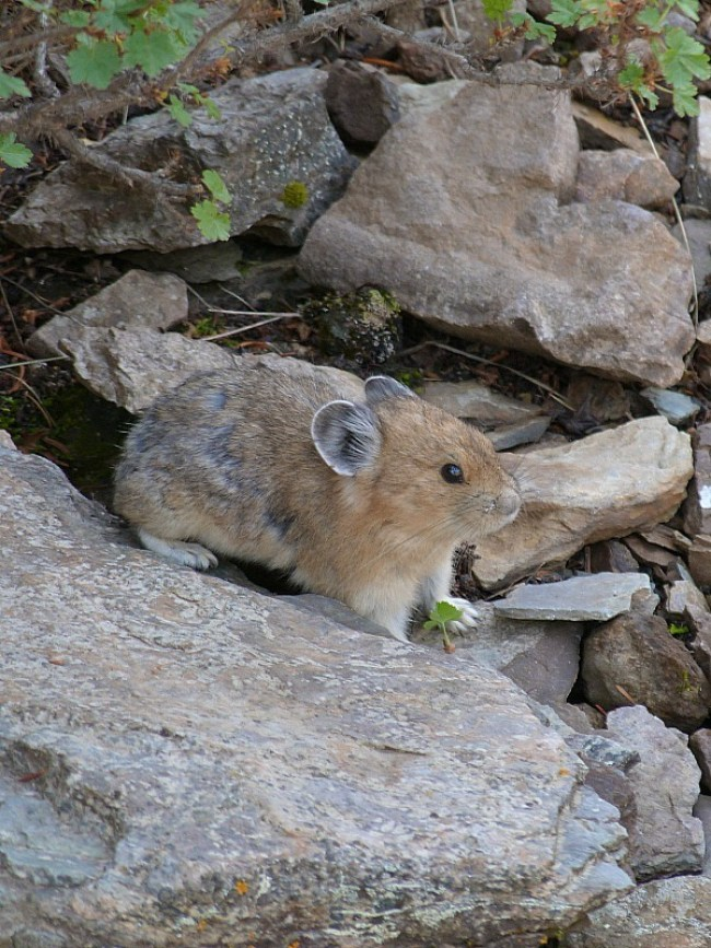 Pika in Banff National Park, Canada - a Rocky Mountain Road Trip must