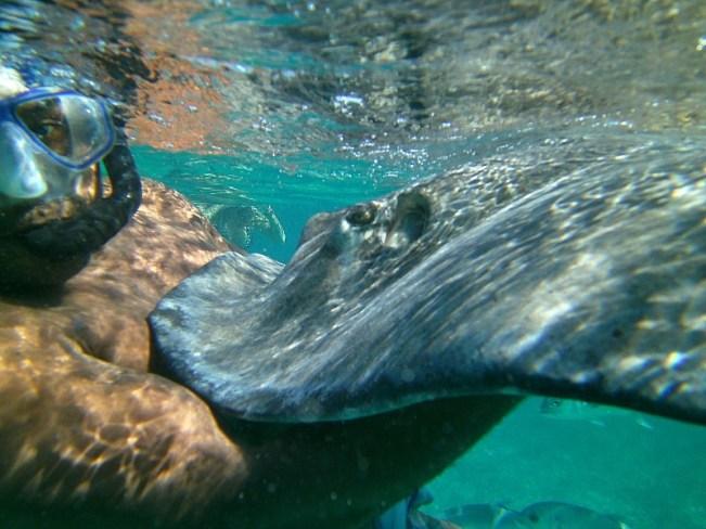 Stingray on a snorkeling tour of Belize Barrier Reef off Caye Caulker