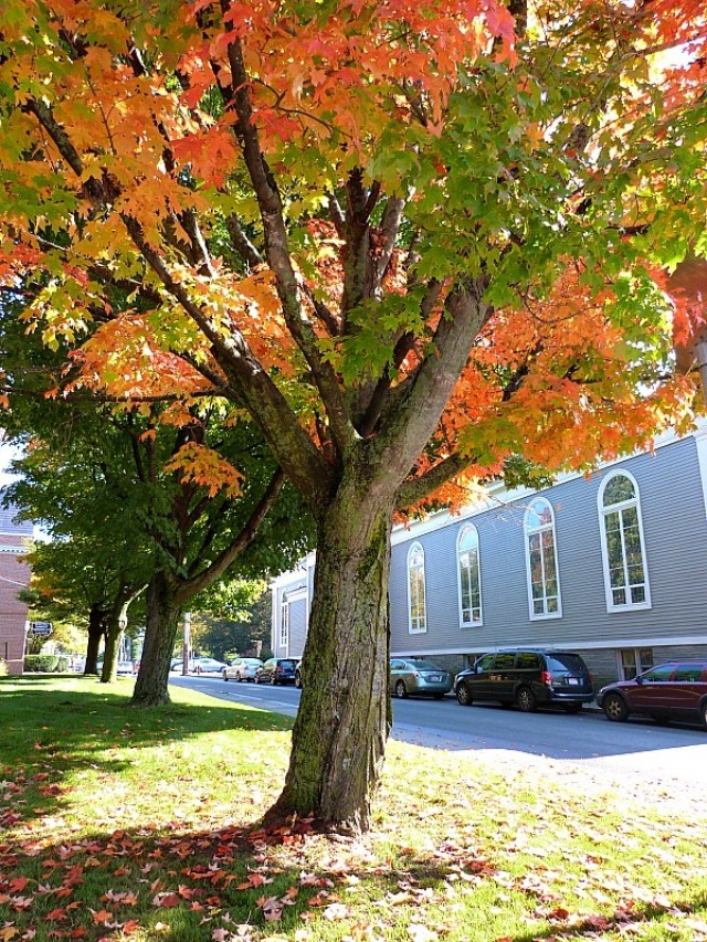 Colorful tree in Concord - one of the best reasons to experience fall in north america