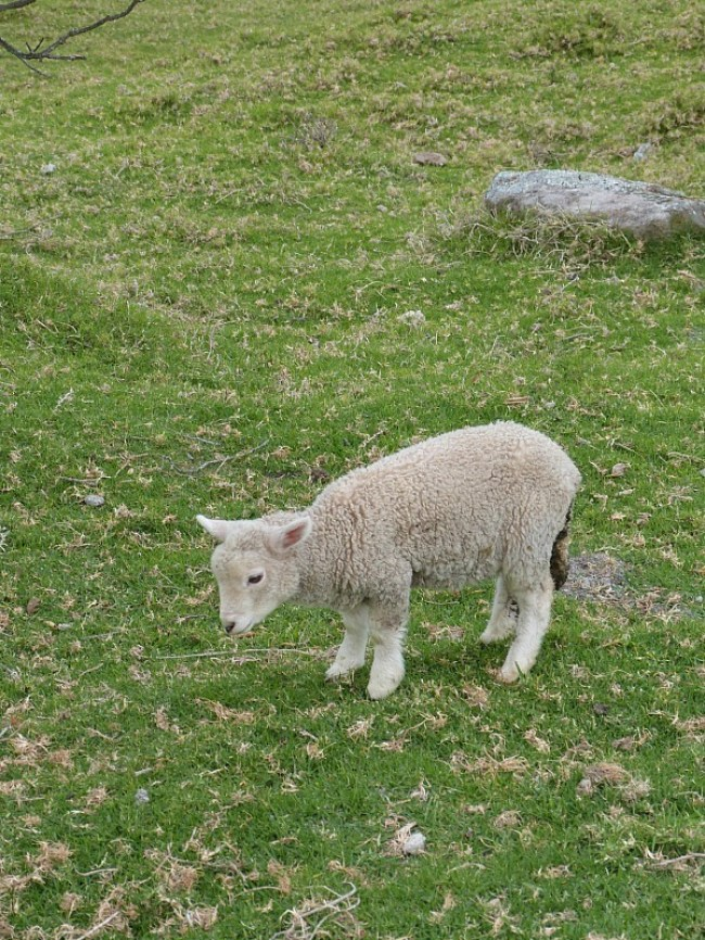 Lamb spotting in Cornwall Park - one of the Best Days out in Auckland New Zealand