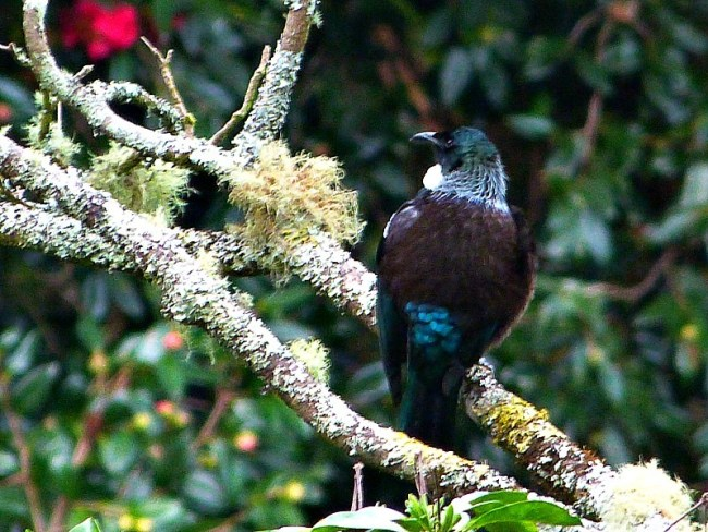A tui at Eden Gardens in Auckland on a visit back home to New Zealand