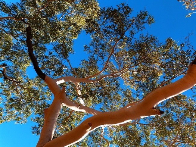 A ghost gum tree at Kings Canyon in the Australian Outback
