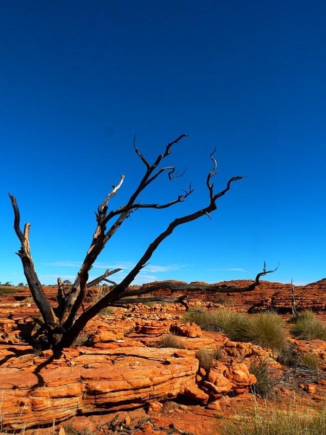 Dead trees in the desert around Uluru
