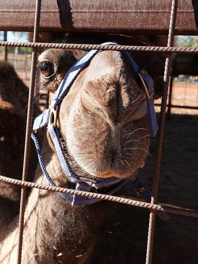 Camel at a Camel Farm near Uluru in the Australian Outback