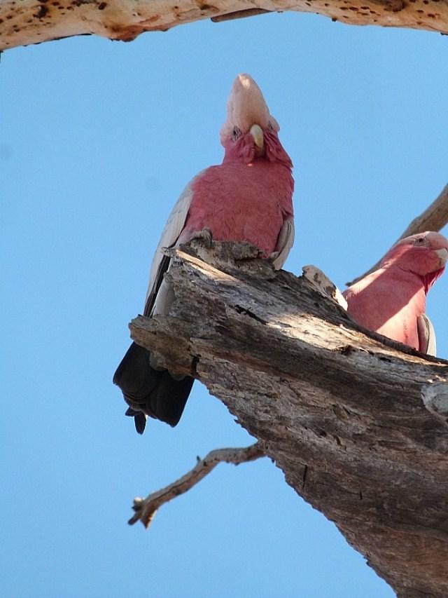 Crazy birds in Alice Springs, Australia