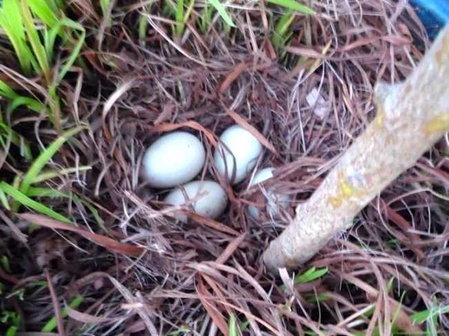 Duck eggs in a pot plant on our London Houseboat