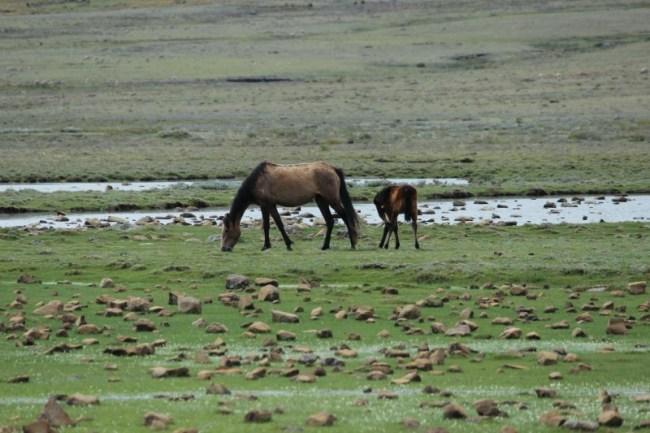 Horses around Sani Top in Lesotho
