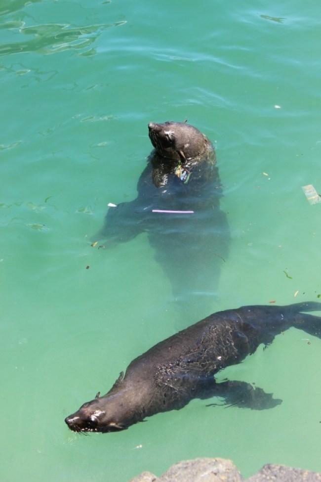 Cheeky seals at beautiful Hout Bay