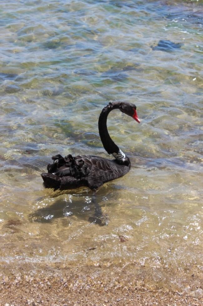 Black swan at Brighton Beach in Melbourne, Australia