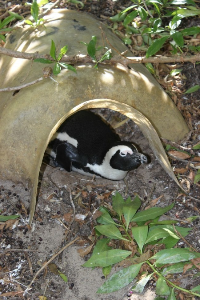 African penguin in Cape Town, South Africa