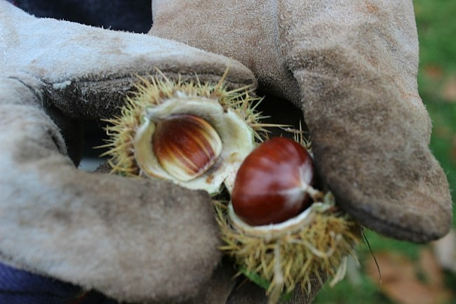 Chestnuts in the Blue Mountains of Australia