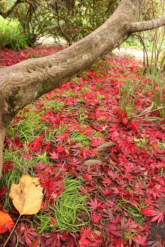 Japanese Maple at Mount Tomah Botanical Gardens in the Blue Mountains of Australia