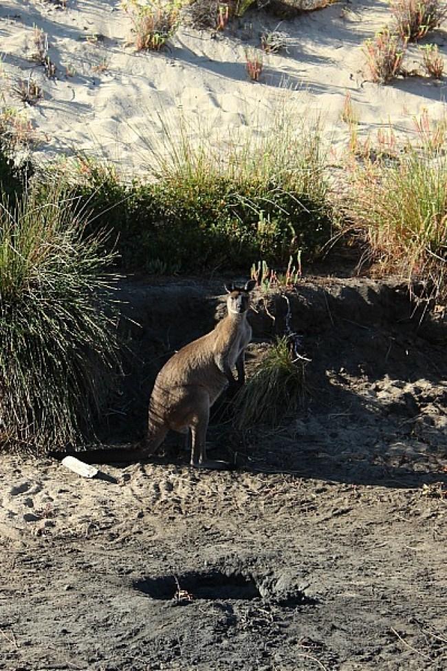 Kangaroo on Ravine des Casoars hike on Kangaroo Island