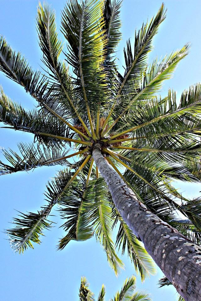 Palm tree at Fitzroy Island Resort