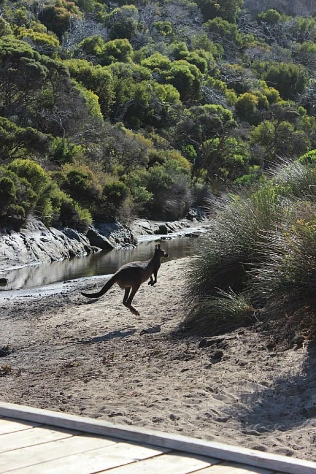 Ravine des Casoars kangaroo