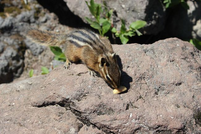 Cheeky chipmunk at Garibaldi Lake