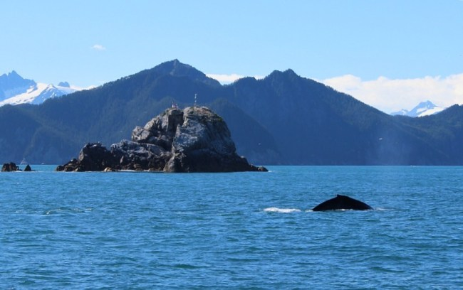 Fin Whale in Kenai Fjords National Park in Alaska