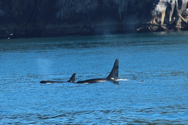 Orcas in Kenai Fjords National Park in Alaska