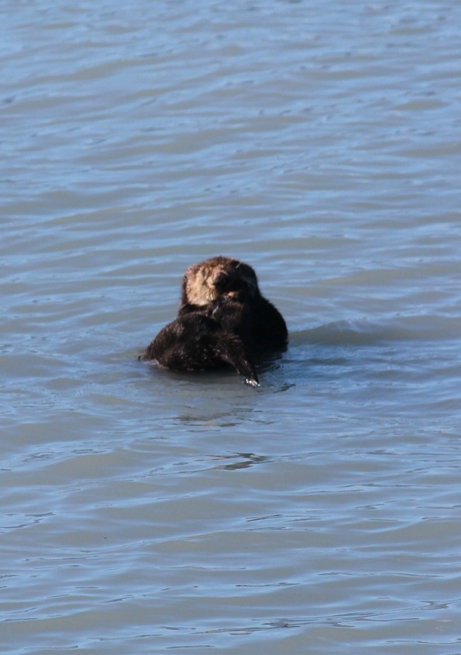 Sea Otter in Kenai Fjords National Park in Alaska