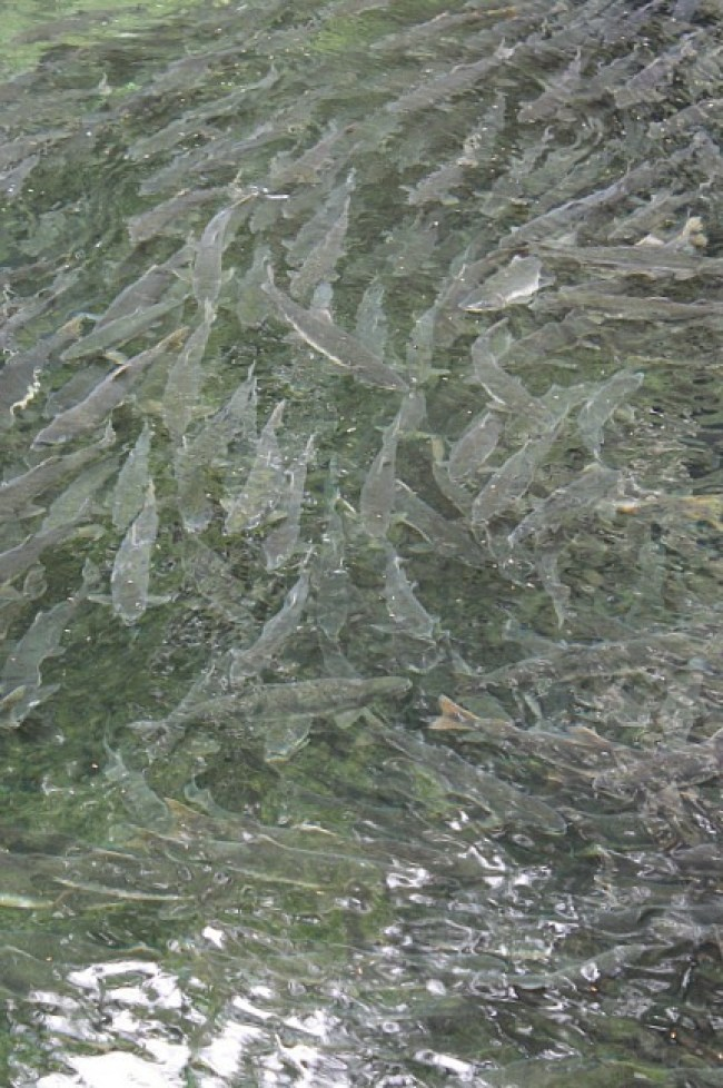 Masses of salmon spawning in Sitka Alaska
