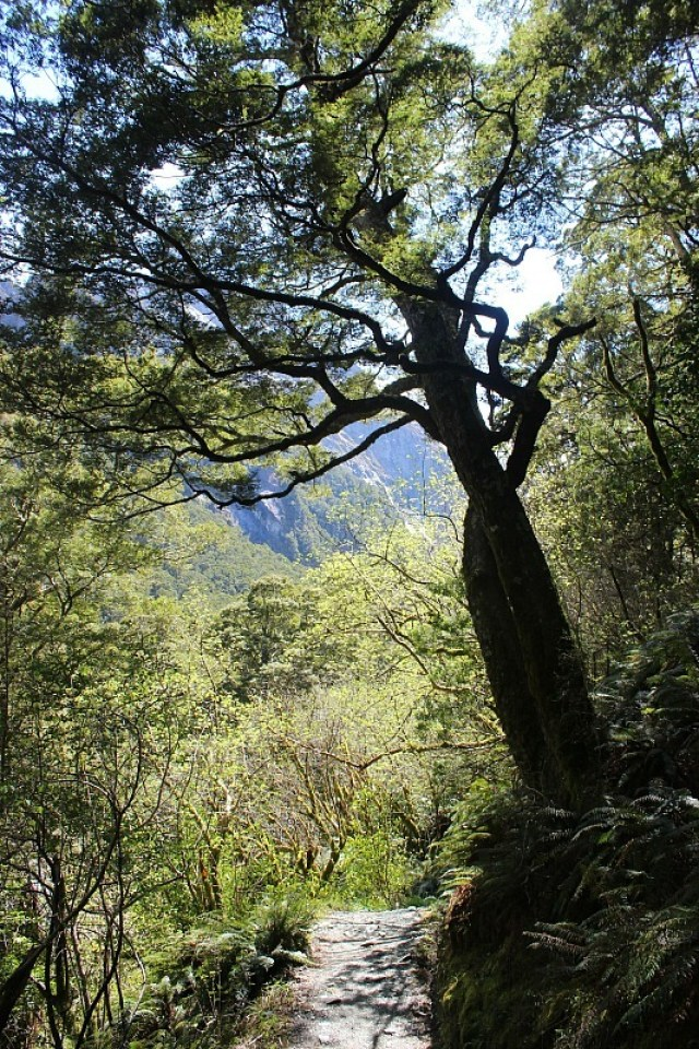 Hiking through beech forest on the way to Rob Roy Glacier in Mount Aspiring National Park