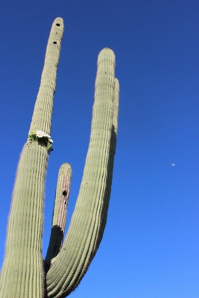 Flowering saguaro cactus in Saguaro National Park in Tucson during month 10 of digital nomad life