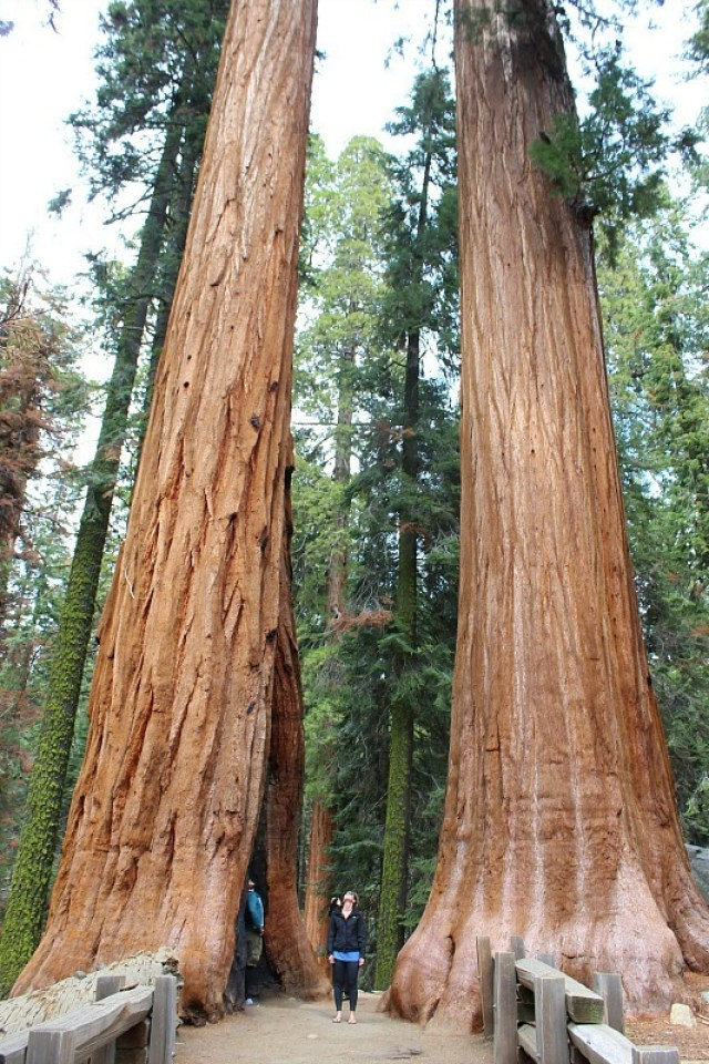 Giant Sequoia trees in Sequoia National Park during month 11 of digital nomad life