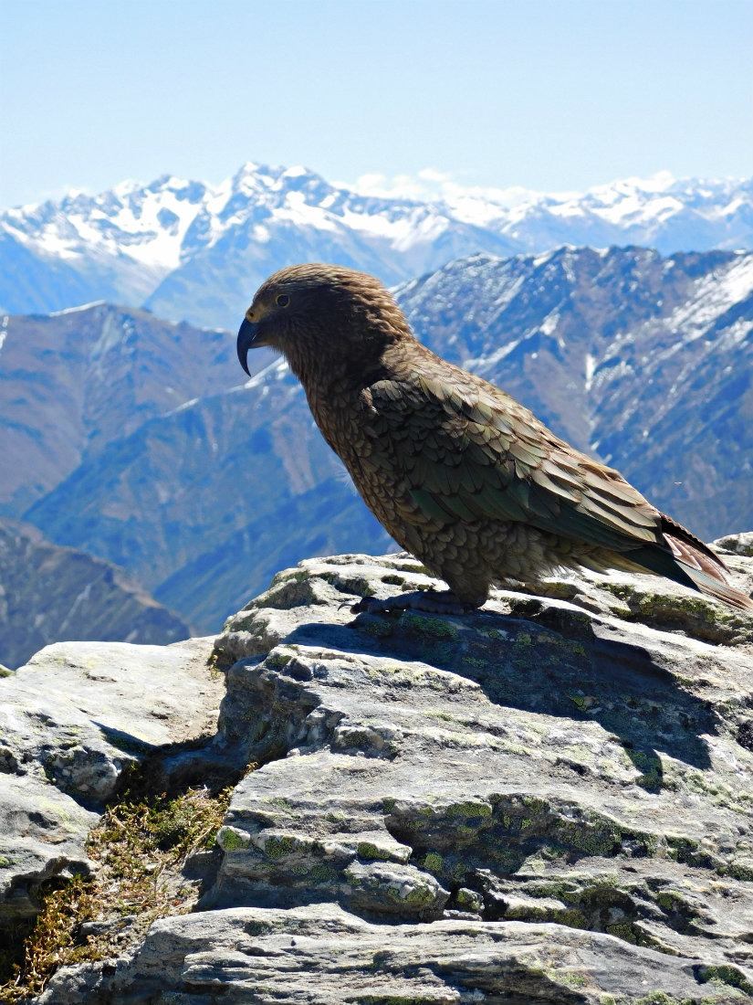 Spotting keas in the South Island of New Zealand during month twenty nine of Digital Nomad Life