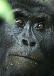 Gorilla Eyes
