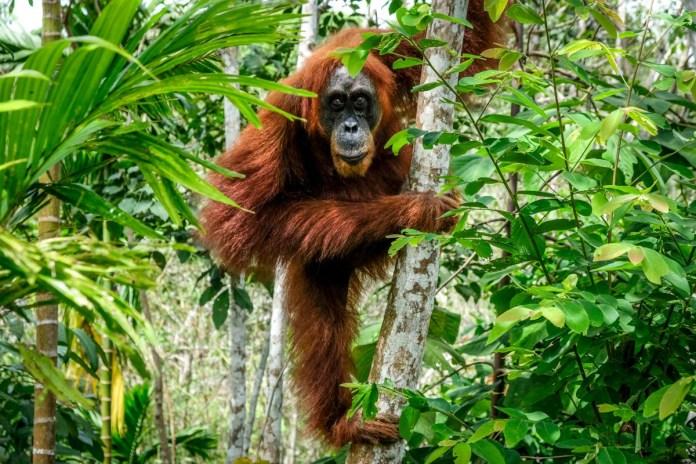 Bukit Lawang Sumatran Orangutan Jungle Trekking By Medan Indonesia