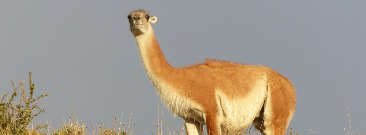 Best places to see guanaco, WildSide, World Wild Web