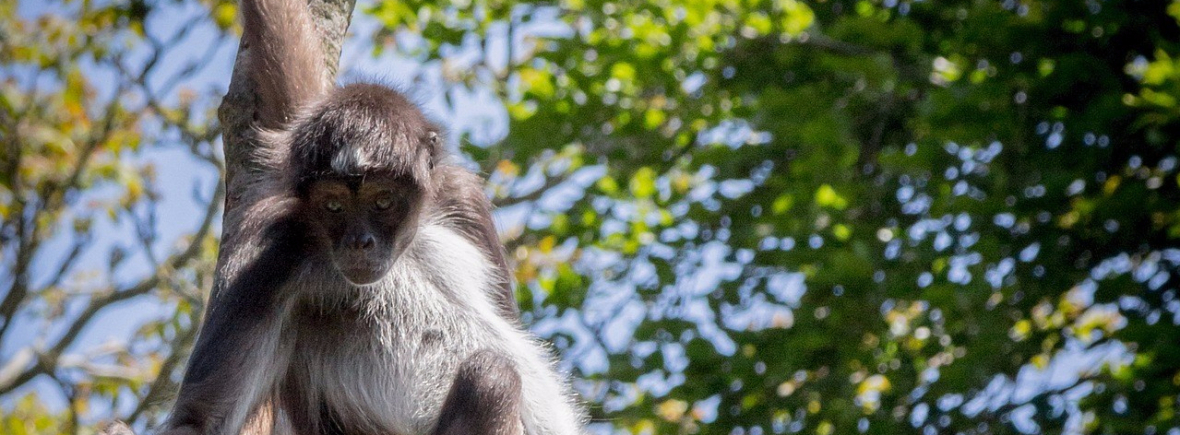 Best places to see spider monkeys, WildSide, World Wild Web