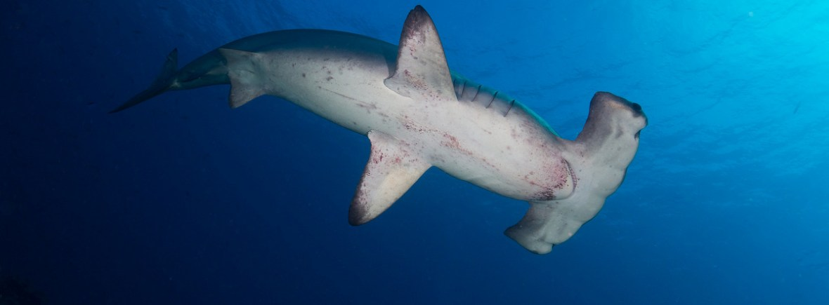 Best places to see hammerhead sharks
