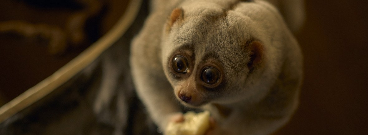 Best places to see slow lorises, WildSide, World Wild Web