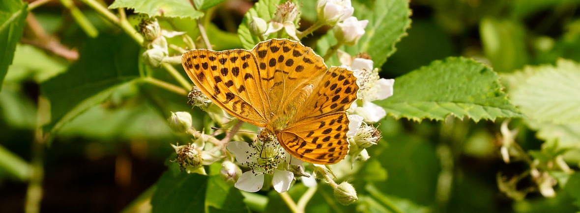 Best places to see silver-washed fritillaries, WildSide, World Wild Web