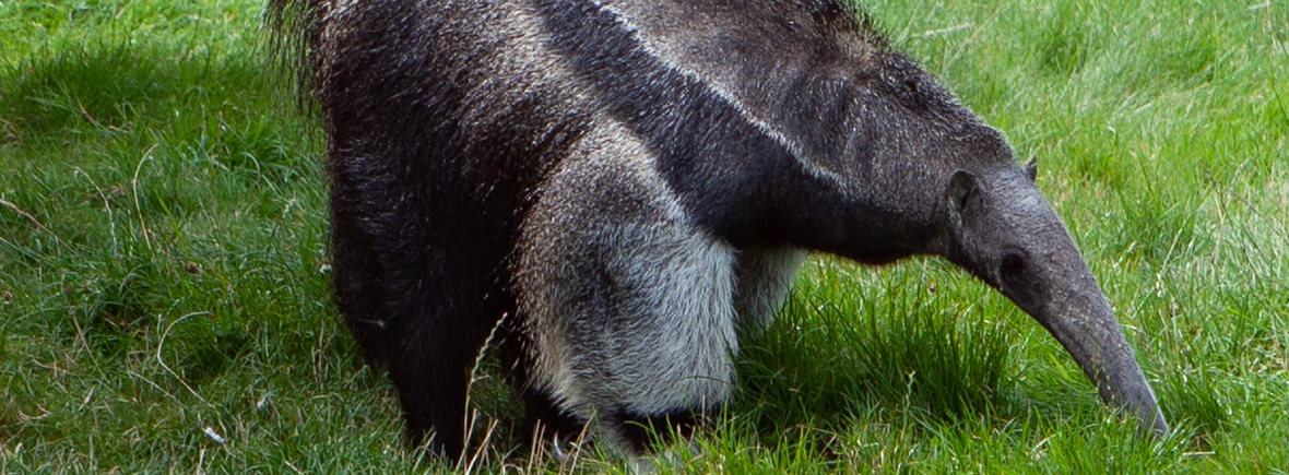 Best places to see giant anteaters, WildSide, World Wild Web