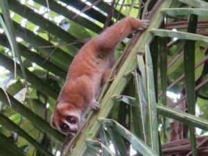 slow loris Pulau Tioman, WildSide, World Wild Web